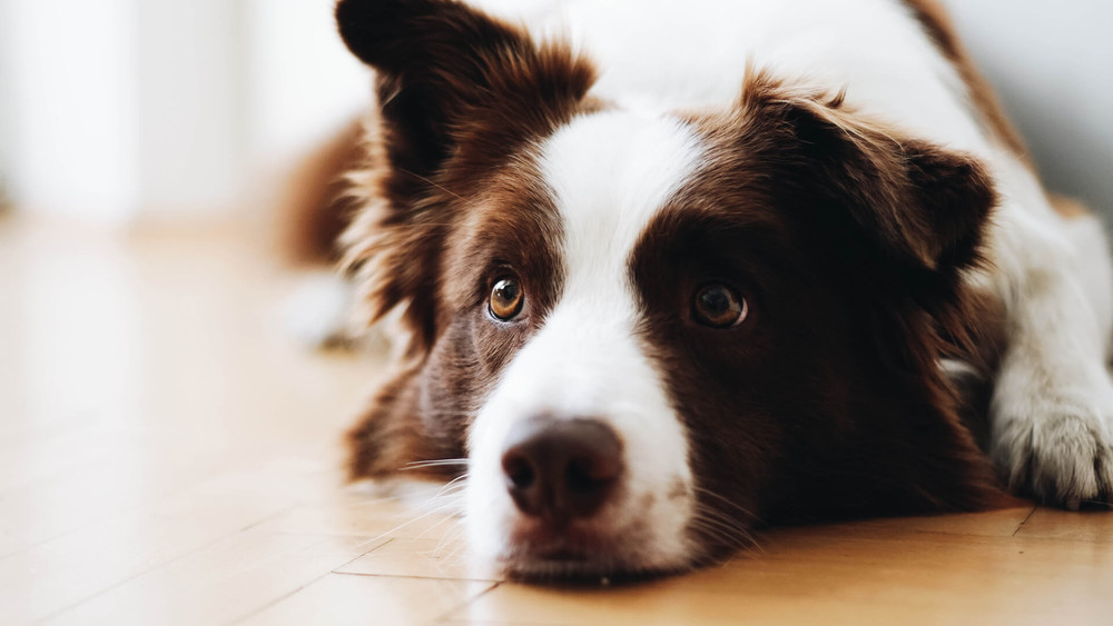Dog resting its head on the floor looking at something