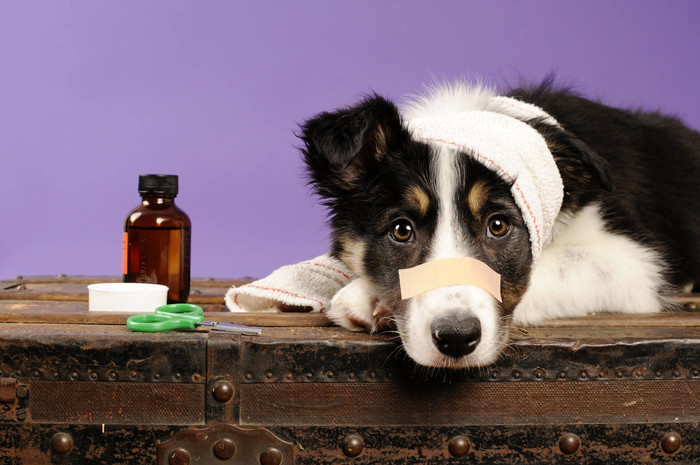 Pet insurance is a waste of money. Dog with Band-Aid.